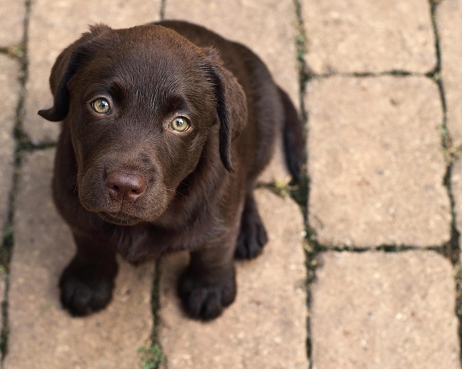 Top 8 Labrador Puppies Who're Ready To Drop Your Jaw Like ...