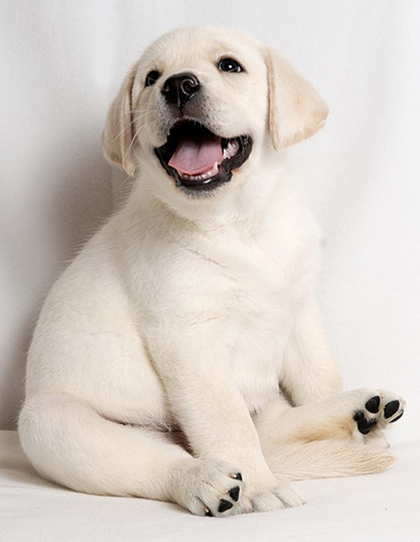 Best Dog Food For Labs >> Top 6 Smiling Labrador Pups Who're Going To Cheer You Up ...