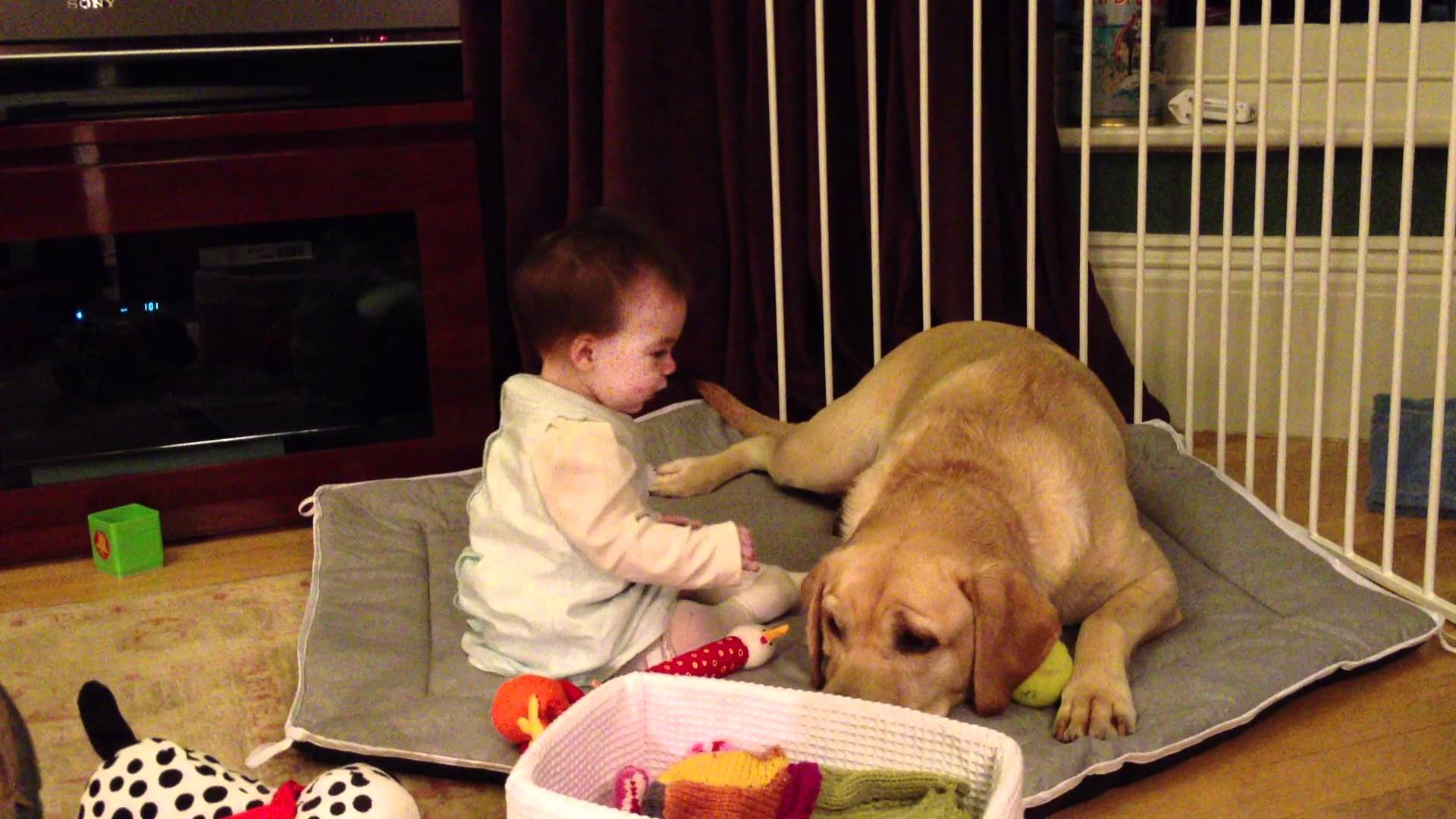 This Labrador Is The Best Babysitter Ever! - A Dog's Love