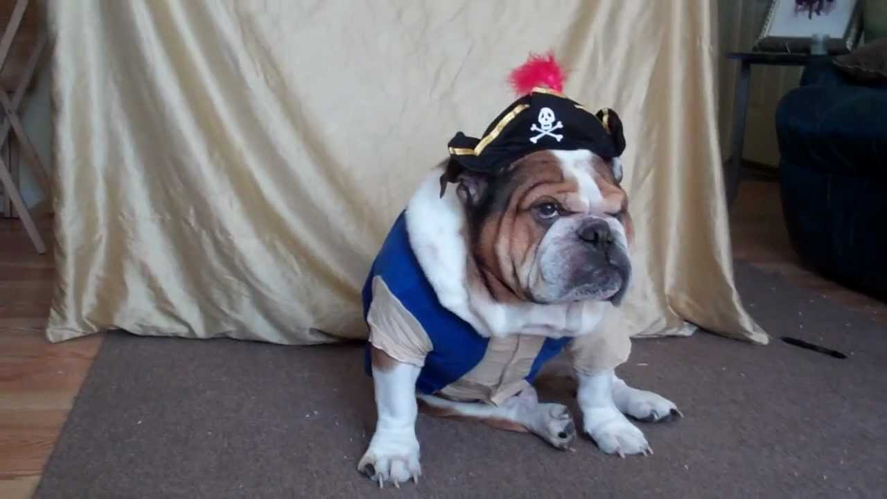 Top 5 English Bulldog Halloween Costumes For That Extra Zing! - A ...