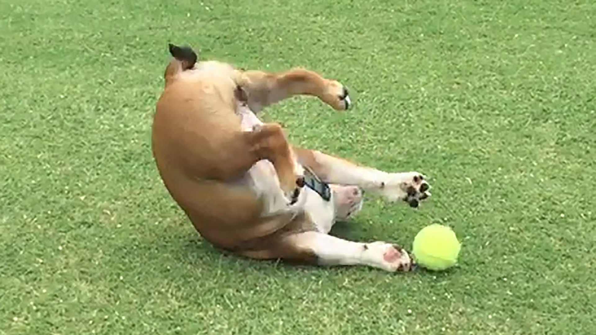 This English Bulldog Is Playing The Most Exhausting Game