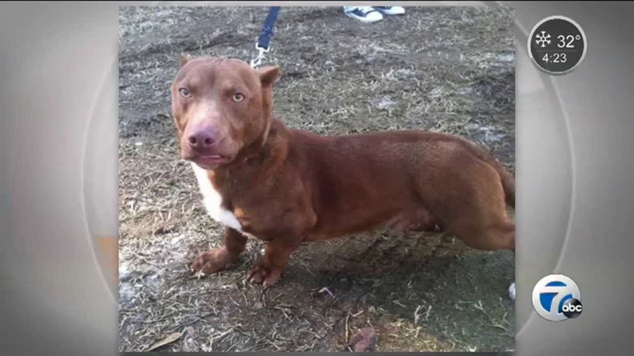 What Happens When A Pitbull And Dachshund Mix Click Here