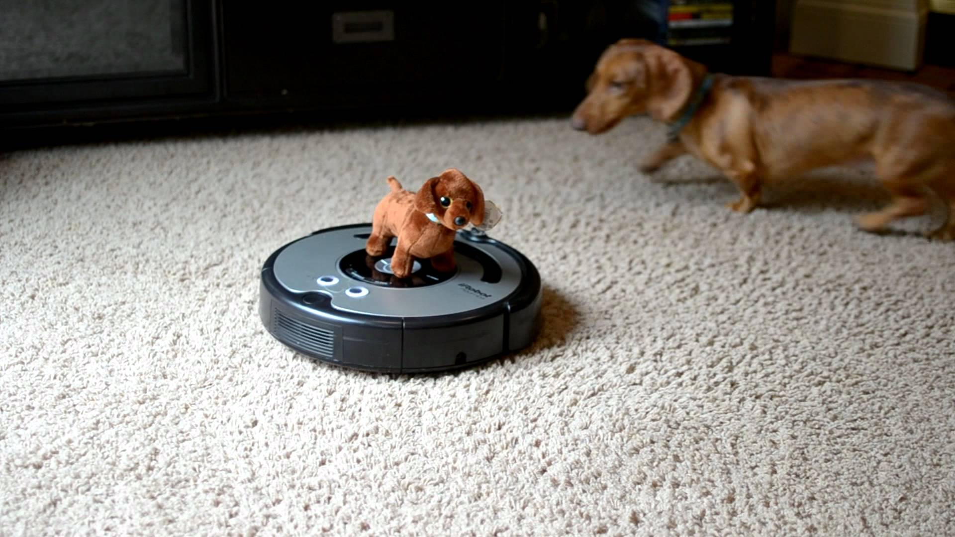 Dachshund And A Roomba Robot In One Room Is All The Fun