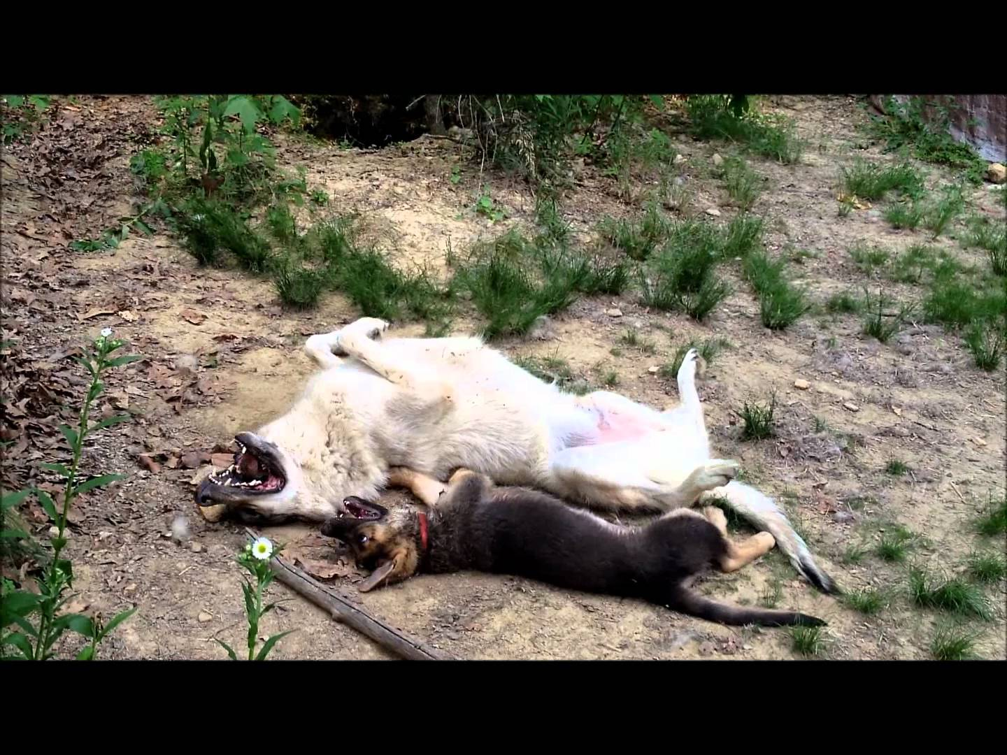 must watch gorgeous german shepherd puppy is playing with