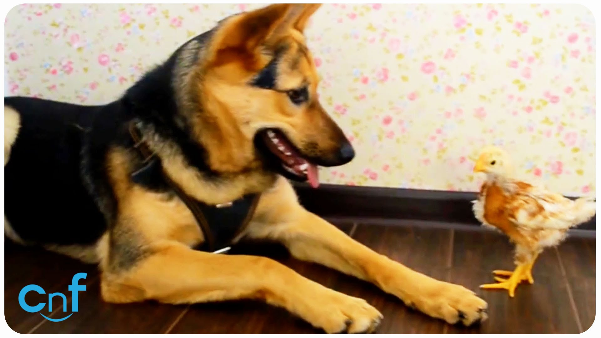 German Shepherd Is Confused While Her Human Is Asking Her ...