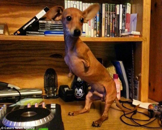 The Dachshund-Chihuahua Mix Who Was Born With No Front ... Rottweiler English Bulldog Mix
