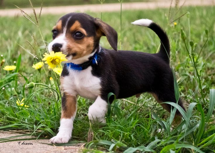 Must see Small Beagle Adorable Dog - 4b4a02cb79e96a9c8e8996296b8478fd  Trends_70156  .jpg