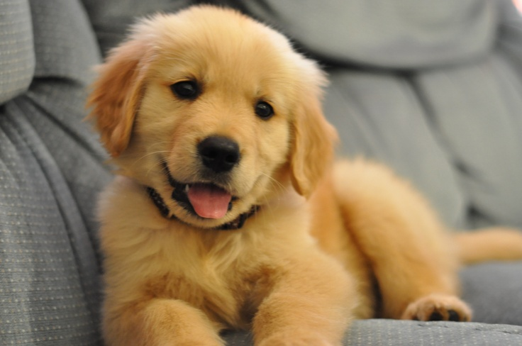 Top 8 Adorable Golden Retriever Puppies Who Will Blow Your Mind!