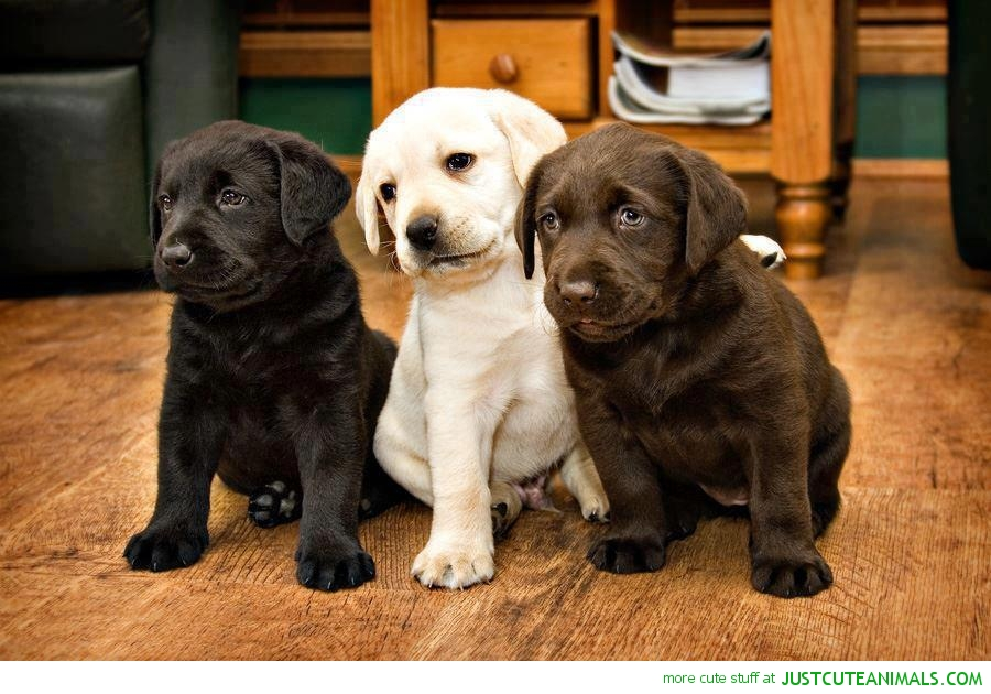 Top 8 Labrador Puppies Who're Ready To Drop Your Jaw Like No