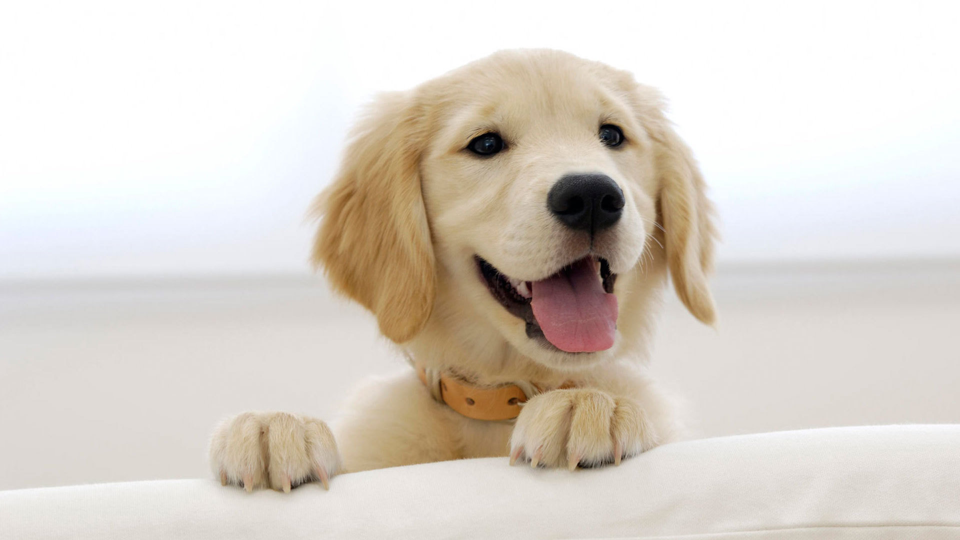 Top 6 Smiling Labrador Pups Who Re Going To Cheer You Up