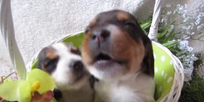 Most Inspiring Two Beagle Adorable Dog - beagle8-400x200  Trends_611568  .jpg