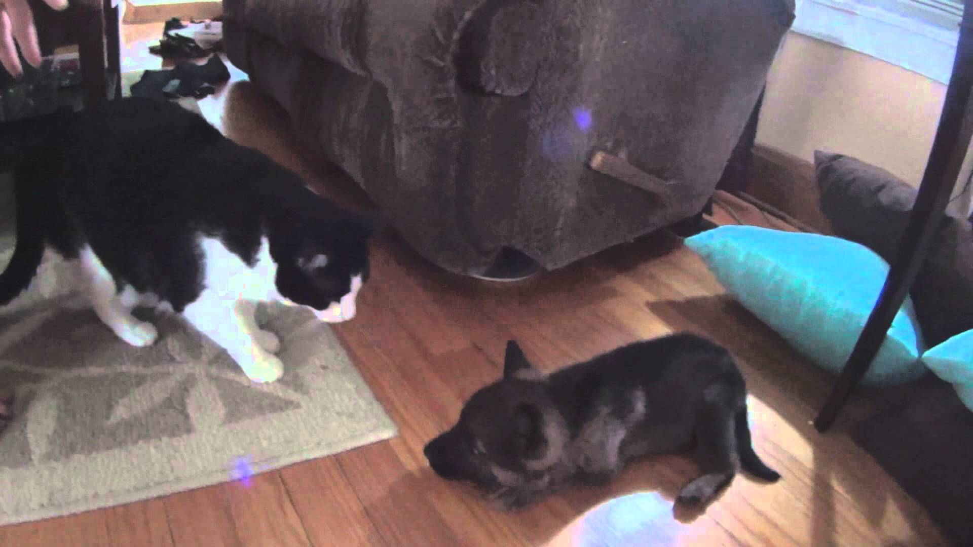 Shy German Shepherd Puppy Meets The Cats For The First