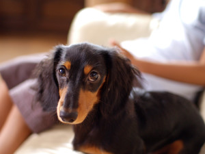 Image Credit: https://upload.wikimedia.org/wikipedia/commons/9/98/Dachshund_longhaired_puppy.jpg