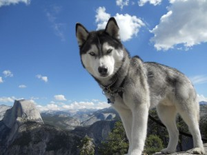 Siberian_Husky_with_Blue_Eyes