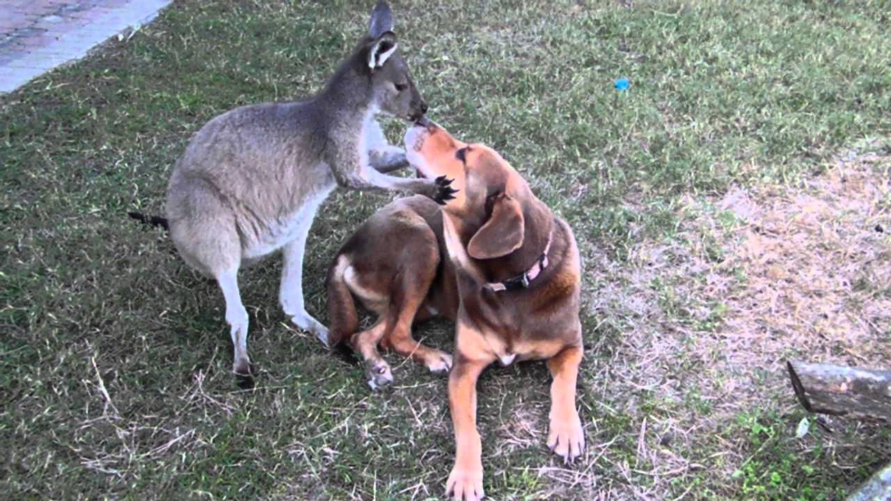 baby kangaroo hops up to a beagle mix pup and did the most