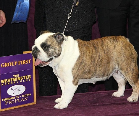 Annabelle The English Bulldog Wins Non Sporting Group At