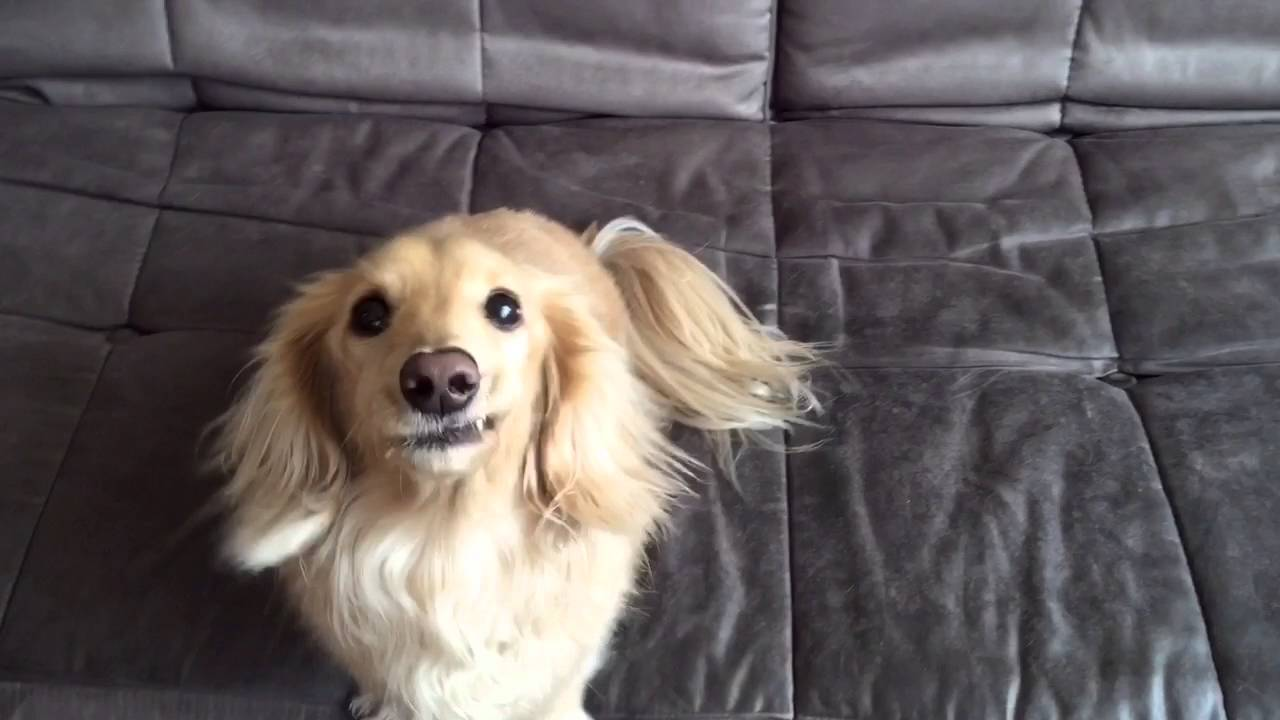 Super Fluffy Dachshund Pup Is Waiting In Anticipation For