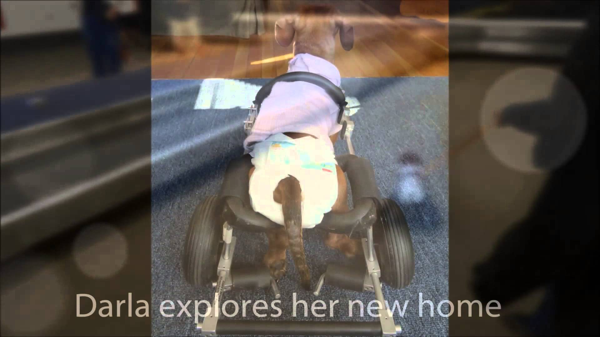 Darla The Handicapped Dachshund Found A New Loving Family To Take Care ...