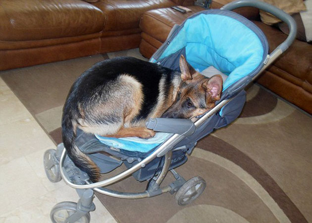German Shepherd Puppy Thinks She S A Human Baby A Dog S