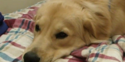 Super Tired Golden Retriever Just Can T Keep His Eyes Open