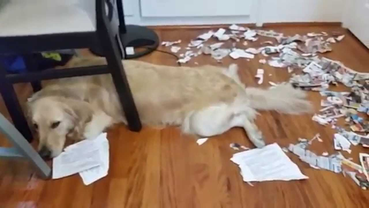 Super Sneaky Golden Retriever Acts Innocent And Tired