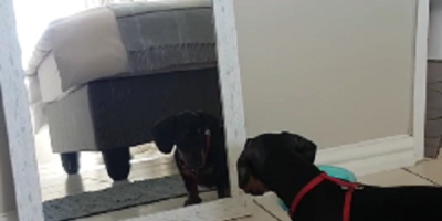 Jack Russell Bark When Sees Another Dog