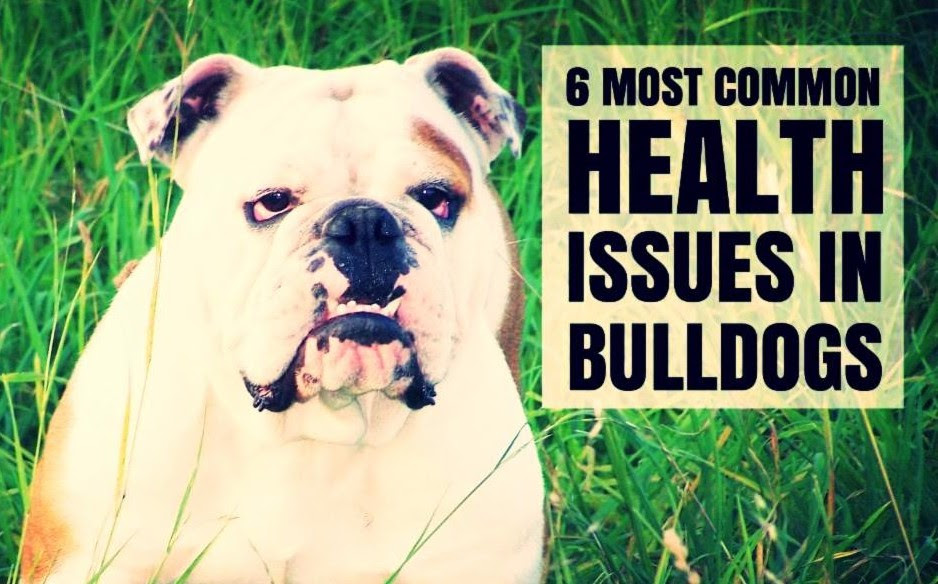 bulldog health issues 6 most common health issues in bulldogs a dog s love 772